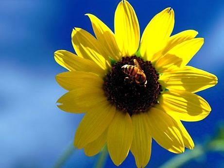 آلرژی نیش زنبور